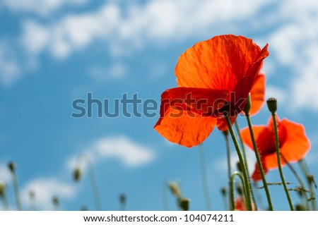 Red poppy on backlighting from below horizontal