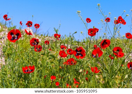 red poppy on blue sky background - stock photo
