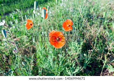 red poppy on the agriculture field with immature green wheat. Summer season, the picture was taken close-up. Shallow depth of field, focus on poppy