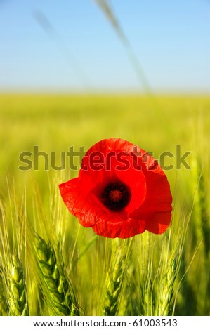 red poppy on the field of wheat