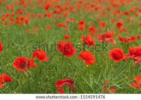 Red poppy (Papaver Rhoeas L.). A field full of blooming red poppies. A beautiful background emanating calm. Clear depth of field. Picture in color.
