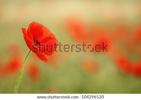 Red poppy (Papaver rhoeas) with out of focus poppy field in background. The petals from off ancient past use in the treatment lung diseases, and as tranquilizer.