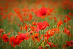 Red poppy/poppies wild flower/flowers on field