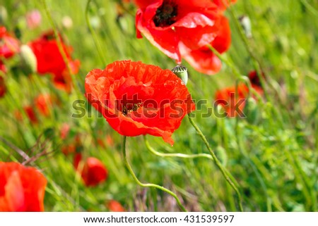 Red Poppy Seed Flower Over Blurred Background Ez Canvas