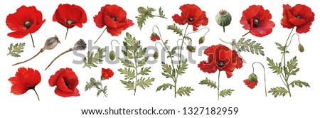 Red poppy. Watercolor. Botanical collection of garden and wild plants. Set: leaves, flowers, twigs,poppies, buds. Сток-фото ©