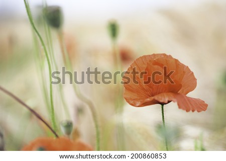 red poppy wildflower, these field flowers are the symbol of veterans day and grow in Flanders fields. Flower background with poppies growing between the corn.