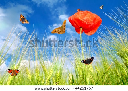 red poppy with butterfly
