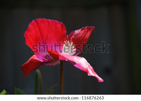 Red poppy with its petals blown open showing the stamen