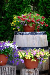 Red pot with pretty colorful flowers is standing on the barrel , outside in the garden. Flower decoration standing on the barrel against the green  thuja background. Beautiful composition
