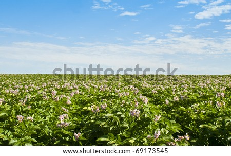 Red potato plants bloom with pink blossoms.