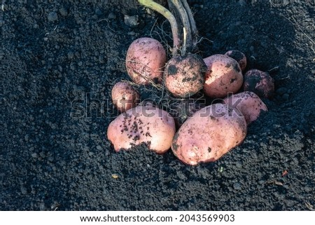 Red potatoes are dug out of the ground. Harvesting. Stock fotó ©