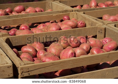 Red Potatoes Freshly Dug from Field in Crates