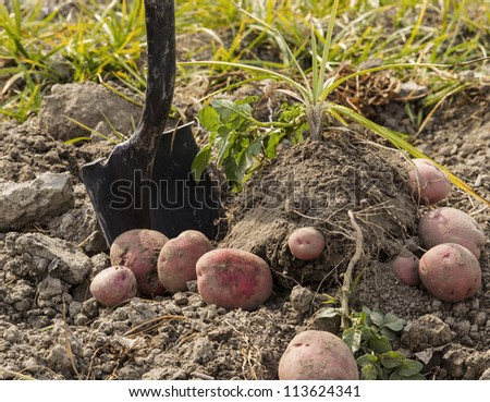 Red potatoes on ground with shovel and plants in background