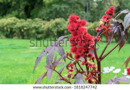 Red prickly fruits of the castor oil plant or Ricinus communis from which medical castor oil is produced. Stock photo ©
