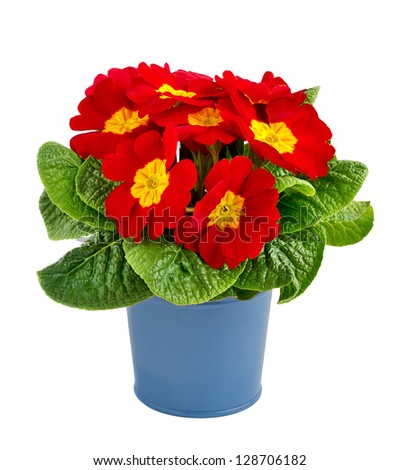 Red primrose in a blue metal pot isolated on white. - stock photo
