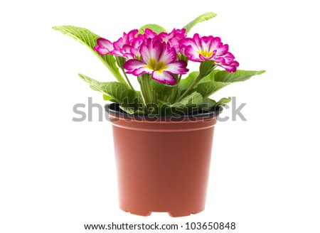 Red primrose in a flowerpot on isolated