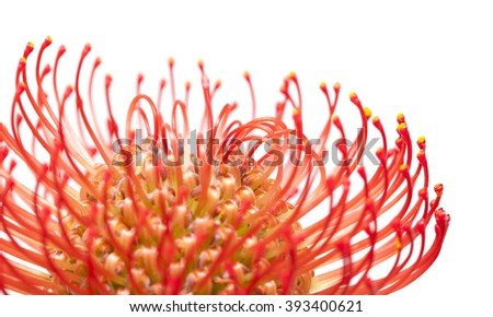 red protea flower macro isolated on white background #393400621