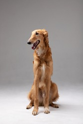 Red puppy of borzoi sit indoor at photostudio, russian sighthound, seven months