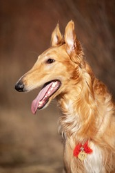 Red puppy of borzoi walks outdoor at spring day, russian sighthound, eleven months old