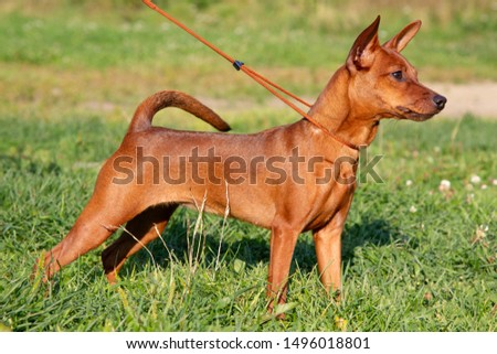 Red purebred Miniature Pinscher on the green grass. Zwergpinscher training. Portrait of pedigree dog #1496018801