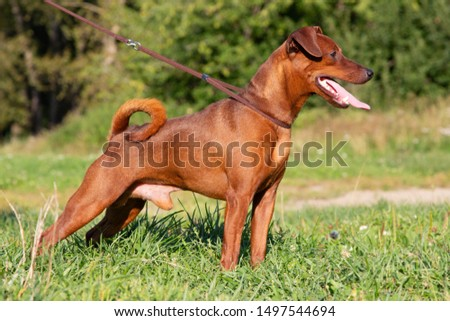 Red purebred Miniature Pinscher on the green grass. Zwergpinscher training. Portrait of pedigree dog #1497544694