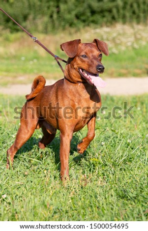 Red purebred Miniature Pinscher on the green grass. Zwergpinscher training. Portrait of pedigree dog #1500054695