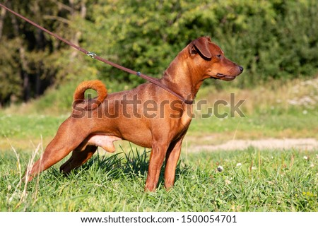 Red purebred Miniature Pinscher on the green grass. Zwergpinscher training. Portrait of pedigree dog #1500054701