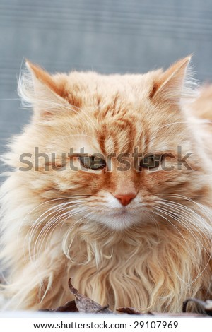 Red pussy cat