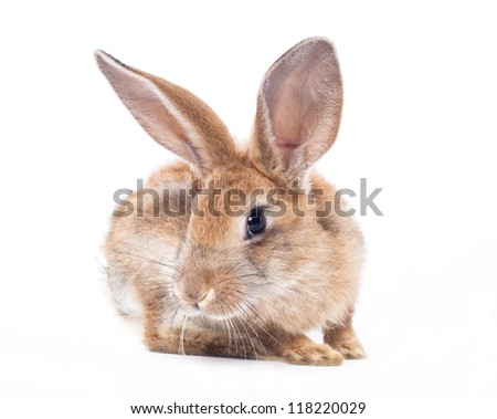Red rabbit  on a white background #118220029