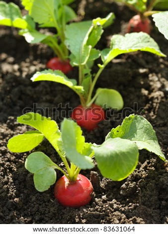 Red radish in bed