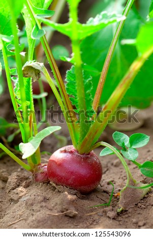 Red radish in bed, outdoors #125543096