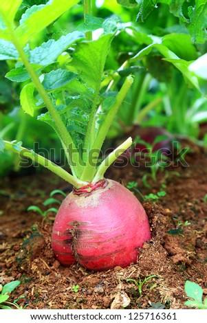 Red radish in garden #125716361