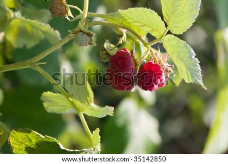 red raspberry on the green bush