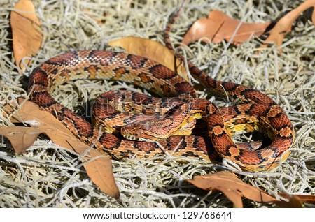 Red rat snake ((Pantherophis guttatus guttatus)