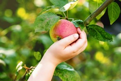 Red ripe apple on an apple tree branch and hand of child touching it in the garden. Apples harvesting.