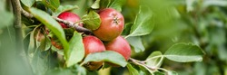 Red ripe apples growing on a tree in the garden. Close up. Banner