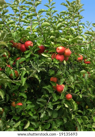 Red Ripe Apples in the Orchard