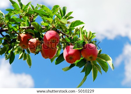 Red ripe apples on apple tree branch, blue sky background