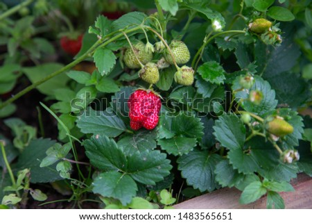Red ripe juicy ripe strawberries on a branch grows
