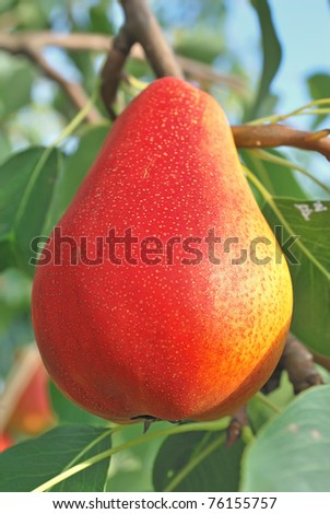 Red ripe pear on the background of green foliage. Pear tree.