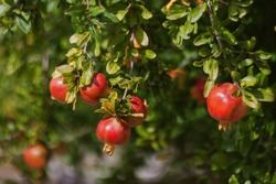 Red ripe pomegranate fruits grow on pomegranate tree in garden. Punica granatum fruit, close up. Of pomegranate to produce a delicious juice.