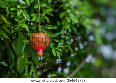Red ripe pomegranates on the tree. Blurred garden at the background Stock Photo