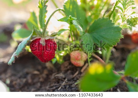 Red ripe strawberry grows in the garden #1107433643