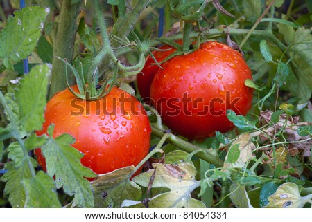 Red Ripe Tomatoes on Vine in Garden