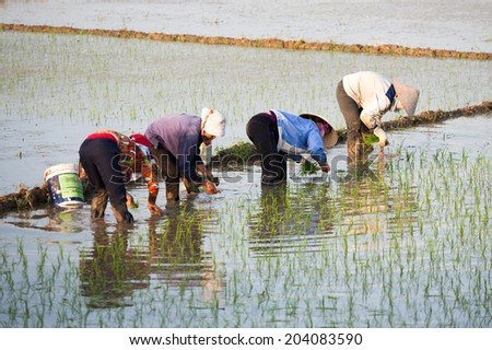 Red River Delta Hanoi Vietnam June 26 2014 Farmer transplant rice seedlings on field in rural Vietnam