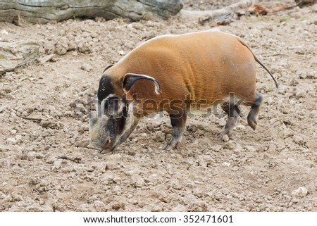 Red River Hog boar searching for food. An impressive red river hog boar disturbs the soil with his nose whilst searching out food.