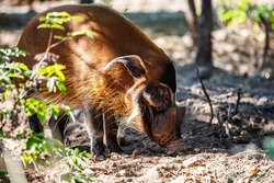 Red river hog. Mammal and mammals. Land world and fauna. Wildlife and zoology. Nature and animal photography.