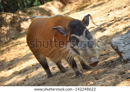 Red river hogs will live in a variety of habitats as long as there is dense vegetation