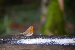 Red Robin Bird close-up shot