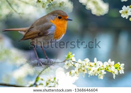 Red Robin (Erithacus rubecula) bird close up in the spring garden Zdjęcia stock ©